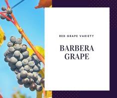 Barbera Grape