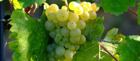 Photo for: The Most Popular Types of White Wine Grapes